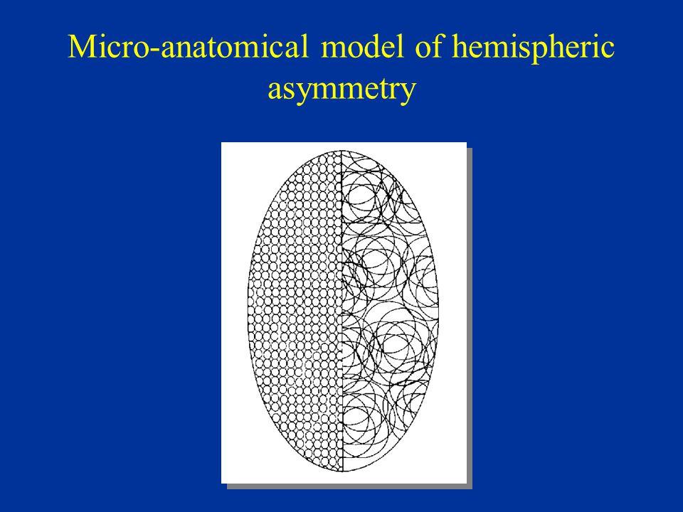 Micro-anatomical model of hemispheric asymmetry