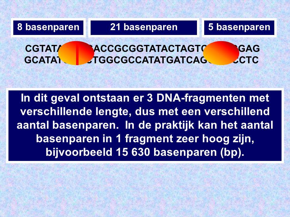 CGTATACT GCATATGA CGACCGCGGTATACTAGTCCT GCTGGCGCCATATGATCAGGA CGGAG GCCTC Een enzym zal bijvoorbeeld het DNA verknippen in het midden van de sequentie