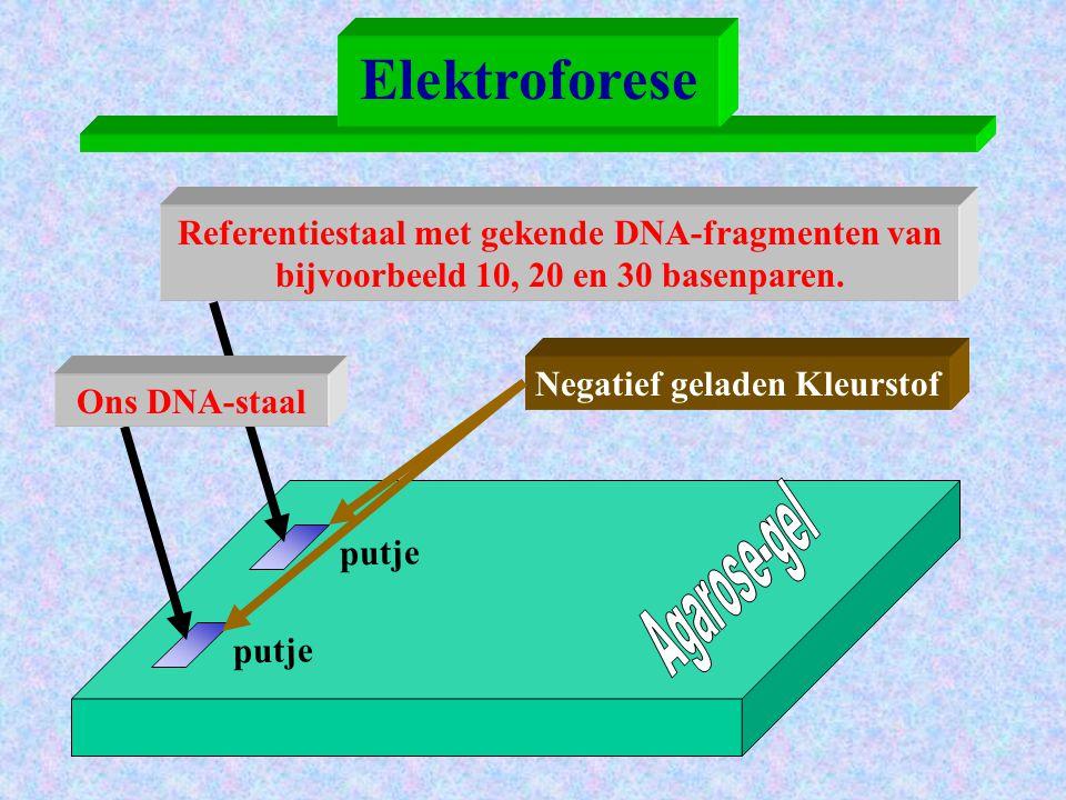 + + + + + pool + + + + + Elektroforese Ons DNA-staal + kleurstof - - - - - pool - - - - - Referentiestaal + kleurstof Kleurstof is negatief geladen en zal naar de positieve pool migreren.