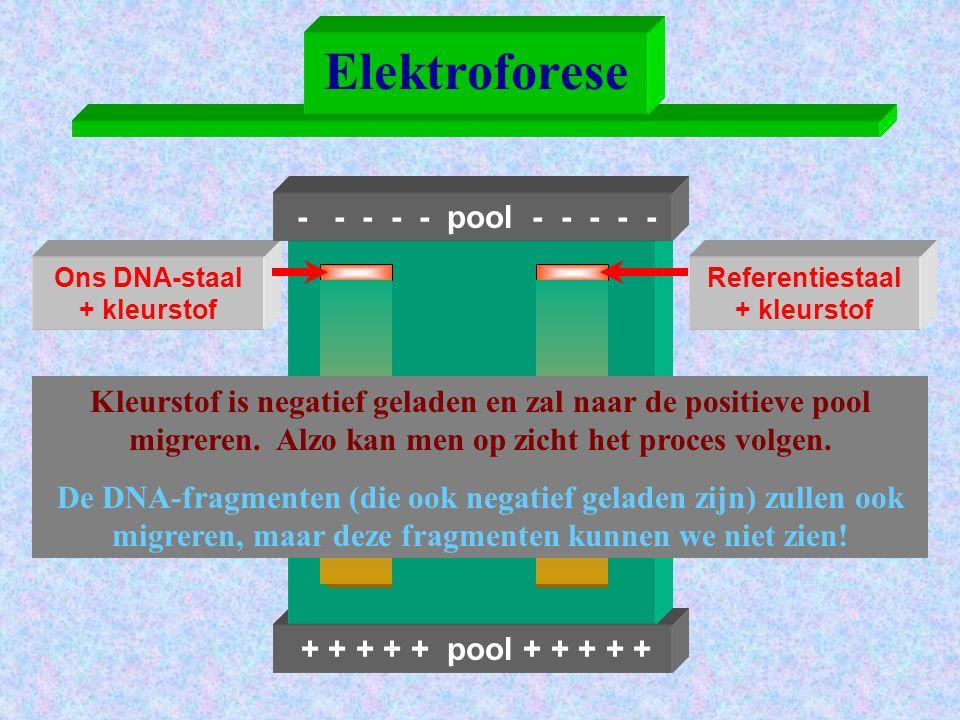 + + + + + pool + + + + + Elektroforese Ons DNA-staal + kleurstof - - - - - pool - - - - - Referentiestaal + kleurstof Kleurstof is negatief geladen en