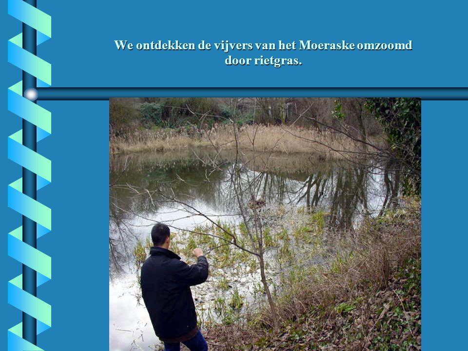 We ontdekken de vijvers van het Moeraske omzoomd door rietgras.
