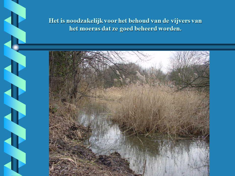 Het is noodzakelijk voor het behoud van de vijvers van het moeras dat ze goed beheerd worden.