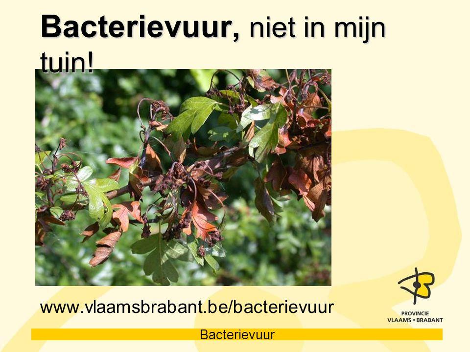 Bacterievuur Bacterievuur, niet in mijn tuin! www.vlaamsbrabant.be/bacterievuur