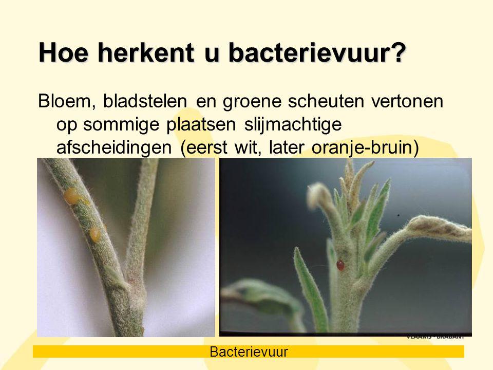 Bacterievuur Hoe herkent u bacterievuur? Bloem, bladstelen en groene scheuten vertonen op sommige plaatsen slijmachtige afscheidingen (eerst wit, late