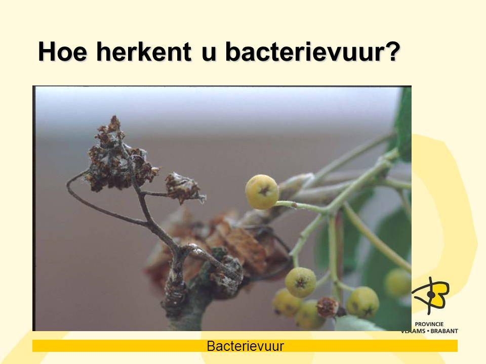 Bacterievuur Hoe herkent u bacterievuur?