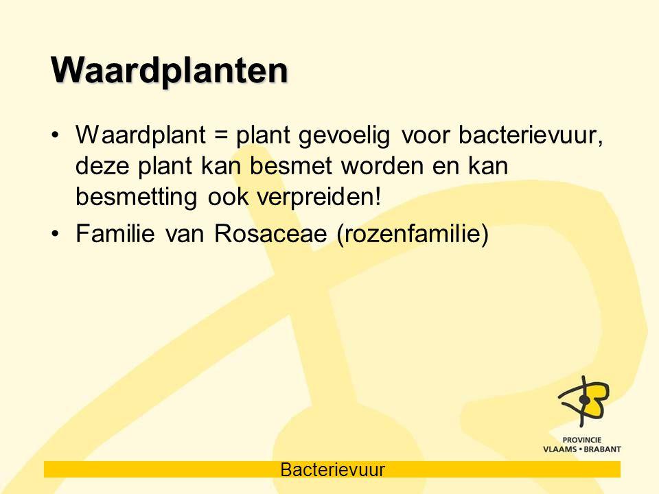 Bacterievuur Waardplanten Waardplant = plant gevoelig voor bacterievuur, deze plant kan besmet worden en kan besmetting ook verpreiden! Familie van Ro