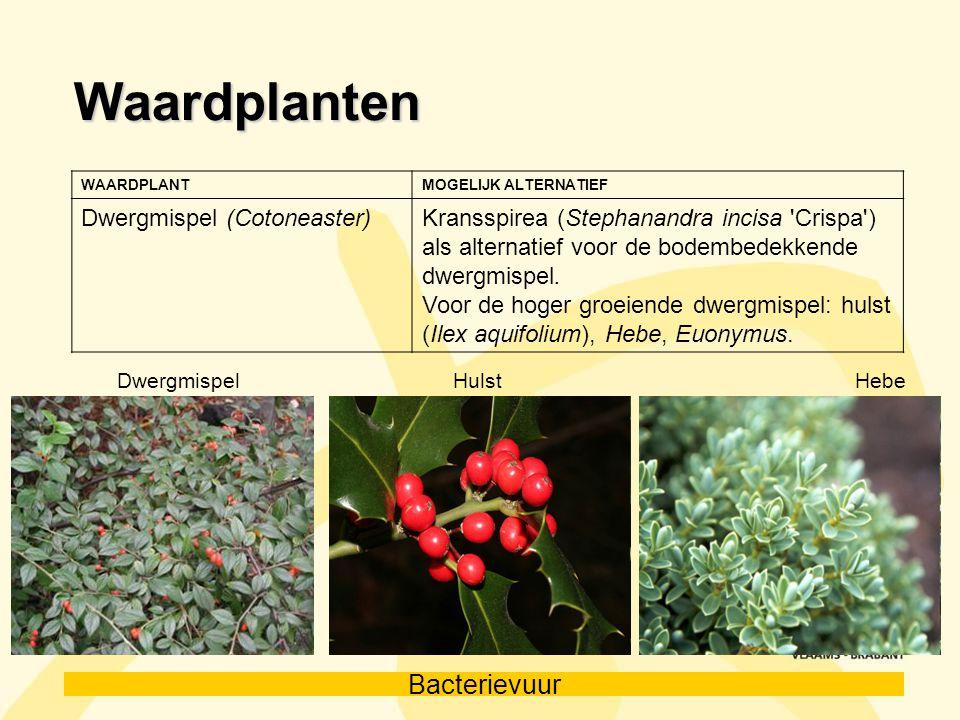 Bacterievuur Waardplanten WAARDPLANTMOGELIJK ALTERNATIEF Dwergmispel (Cotoneaster)Kransspirea (Stephanandra incisa 'Crispa') als alternatief voor de b