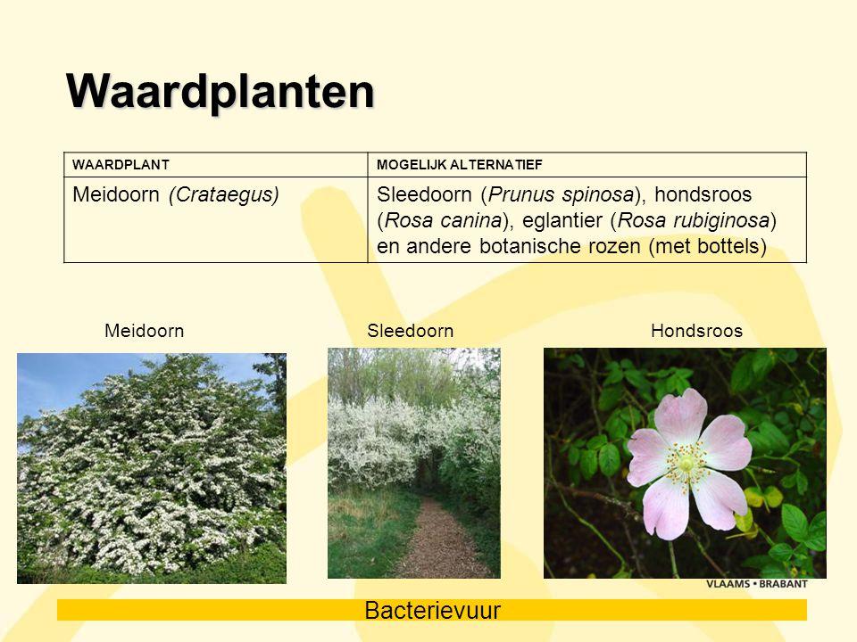 Bacterievuur Waardplanten WAARDPLANTMOGELIJK ALTERNATIEF Meidoorn (Crataegus)Sleedoorn (Prunus spinosa), hondsroos (Rosa canina), eglantier (Rosa rubi