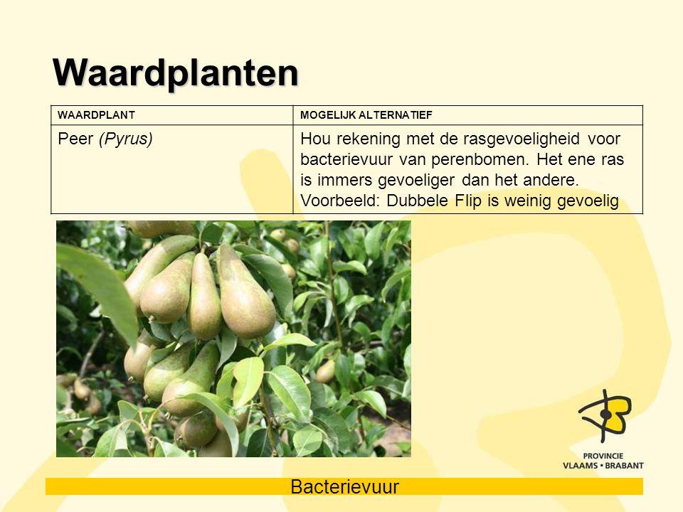 Bacterievuur Waardplanten WAARDPLANTMOGELIJK ALTERNATIEF Peer (Pyrus)Hou rekening met de rasgevoeligheid voor bacterievuur van perenbomen. Het ene ras