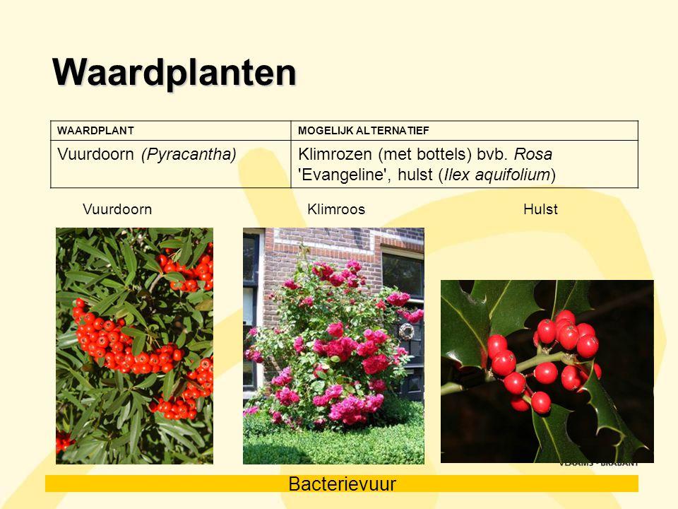 Bacterievuur Waardplanten WAARDPLANTMOGELIJK ALTERNATIEF Vuurdoorn (Pyracantha)Klimrozen (met bottels) bvb. Rosa 'Evangeline', hulst (Ilex aquifolium)