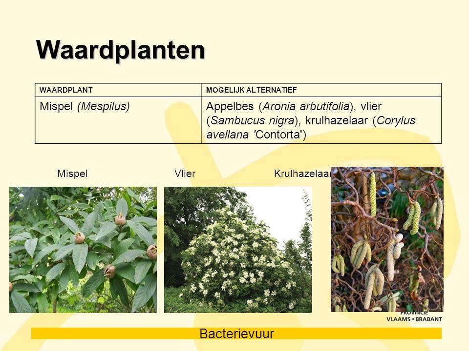 Bacterievuur Waardplanten WAARDPLANTMOGELIJK ALTERNATIEF Mispel (Mespilus)Appelbes (Aronia arbutifolia), vlier (Sambucus nigra), krulhazelaar (Corylus