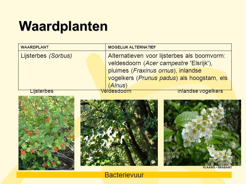 Bacterievuur Waardplanten WAARDPLANTMOGELIJK ALTERNATIEF Lijsterbes (Sorbus)Alternatieven voor lijsterbes als boomvorm: veldesdoorn (Acer campestre 'E