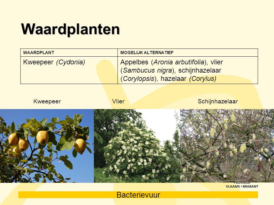 Bacterievuur Waardplanten WAARDPLANTMOGELIJK ALTERNATIEF Kweepeer (Cydonia)Appelbes (Aronia arbutifolia), vlier (Sambucus nigra), schijnhazelaar (Cory