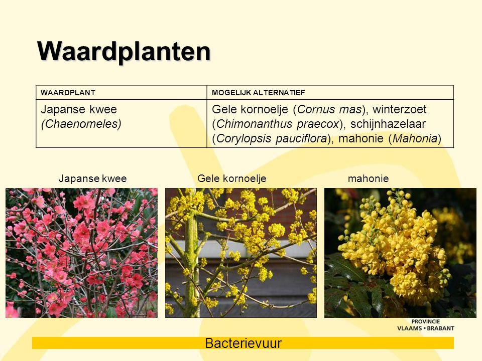 Bacterievuur Waardplanten WAARDPLANTMOGELIJK ALTERNATIEF Japanse kwee (Chaenomeles) Gele kornoelje (Cornus mas), winterzoet (Chimonanthus praecox), sc