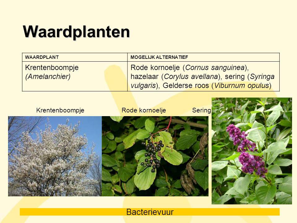 Bacterievuur Waardplanten WAARDPLANTMOGELIJK ALTERNATIEF Krentenboompje (Amelanchier) Rode kornoelje (Cornus sanguinea), hazelaar (Corylus avellana),