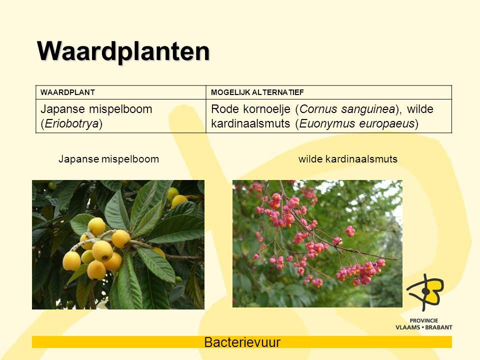 Bacterievuur Waardplanten WAARDPLANTMOGELIJK ALTERNATIEF Japanse mispelboom (Eriobotrya) Rode kornoelje (Cornus sanguinea), wilde kardinaalsmuts (Euon