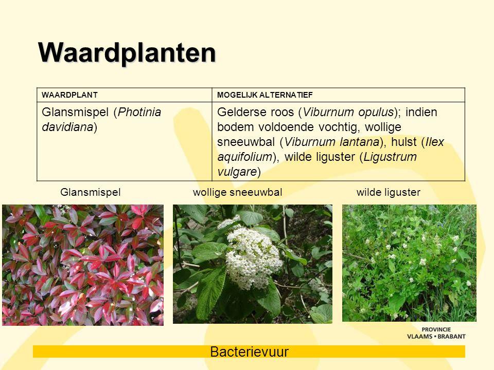 Bacterievuur Waardplanten WAARDPLANTMOGELIJK ALTERNATIEF Glansmispel (Photinia davidiana) Gelderse roos (Viburnum opulus); indien bodem voldoende voch