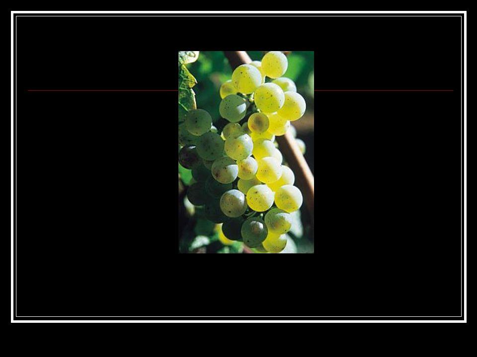 Laatrijpend en vorstbestending Vegetatieperiode bedraagt minstens 100 dagen (hogere kwaliteiten minstens zo'n 120-130 dagen), lopend van zijn relatief wat late bloei tussen (gemiddeld) 15 en 25 juni tot in oktober en november, al naar gelang het type wijn dat de wijnboer voor ogen heeft Riesling is heel geschikt voor koelere klimaten dankzij vorstbestendigheid.