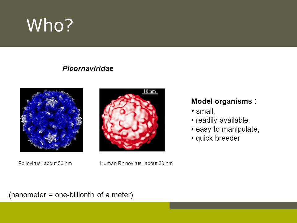 Who? Model organisms : small, readily available, easy to manipulate, quick breeder Poliovirus - about 50 nm (nanometer = one-billionth of a meter) Hum