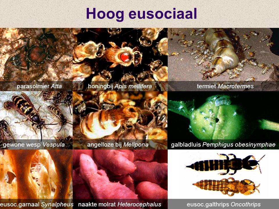 Hoog eusociaal eusoc.garnaal Synalpheus naakte molrat Heterocephalus eusoc.galthrips Oncothrips parasolmier Atta honingbij Apis mellifera termiet Macr