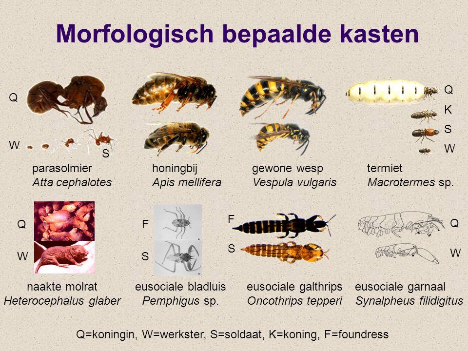 Morfologisch bepaalde kasten eusociale garnaal Synalpheus filidigitus naakte molrat Heterocephalus glaber eusociale galthrips Oncothrips tepperi paras