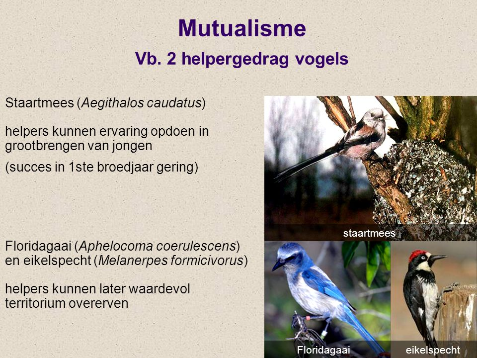 Mutualisme Vb. 2 helpergedrag vogels Staartmees (Aegithalos caudatus) helpers kunnen ervaring opdoen in grootbrengen van jongen (succes in 1ste broedj