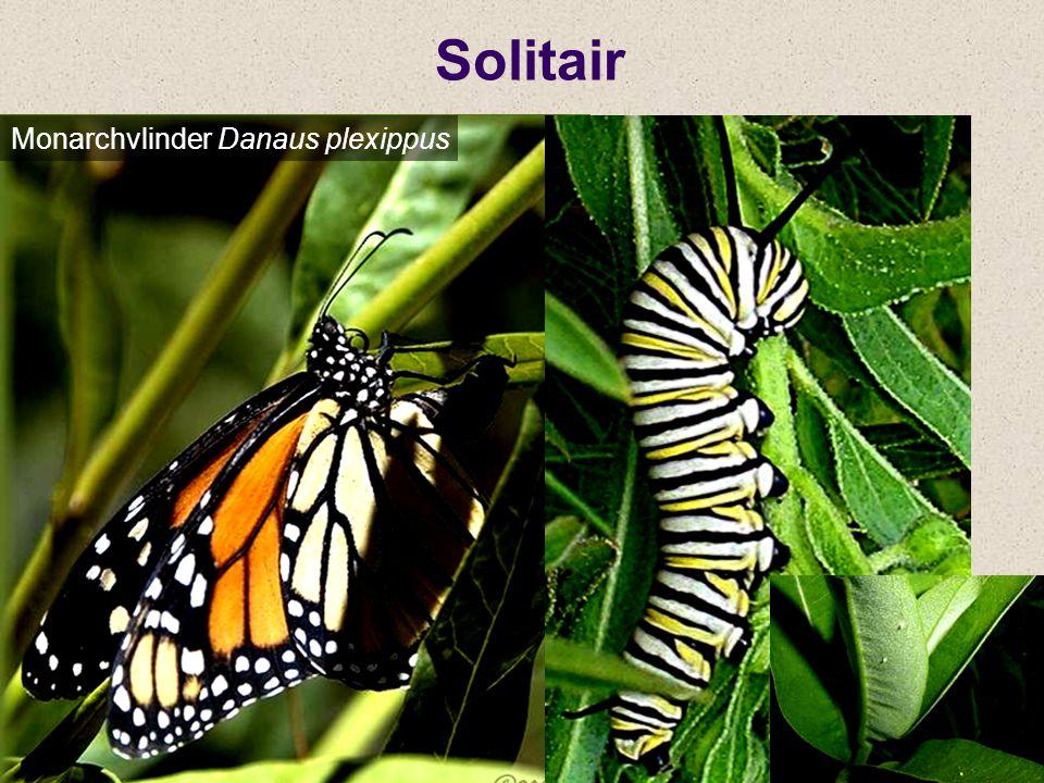 Solitair Monarchvlinder Danaus plexippus
