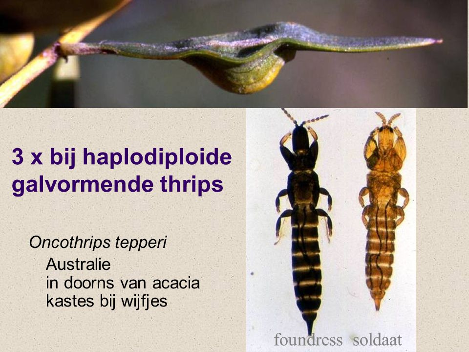 3 x bij haplodiploide galvormende thrips Oncothrips tepperi Australie in doorns van acacia kastes bij wijfjes foundresssoldaat