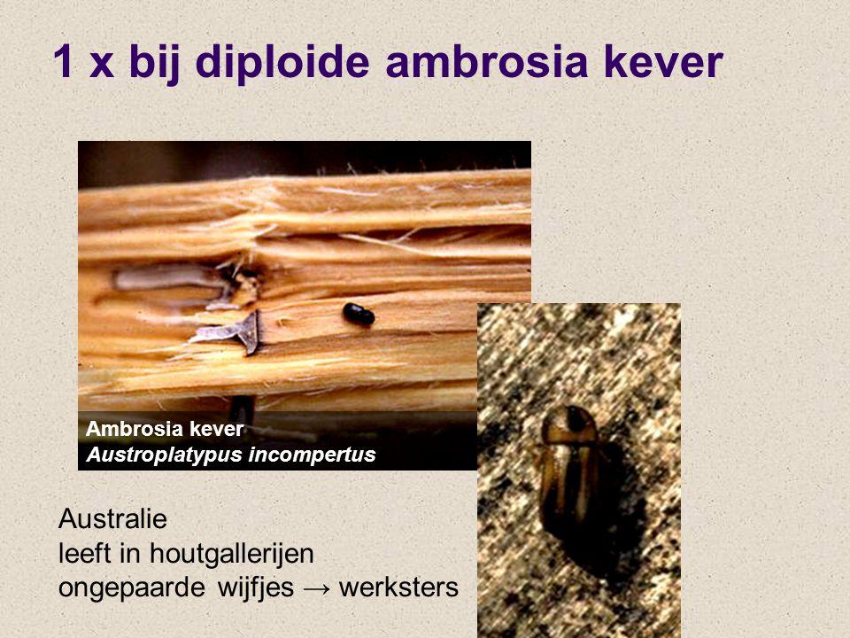 1 x bij diploide ambrosia kever Ambrosia kever Austroplatypus incompertus Australie leeft in houtgallerijen ongepaarde wijfjes → werksters