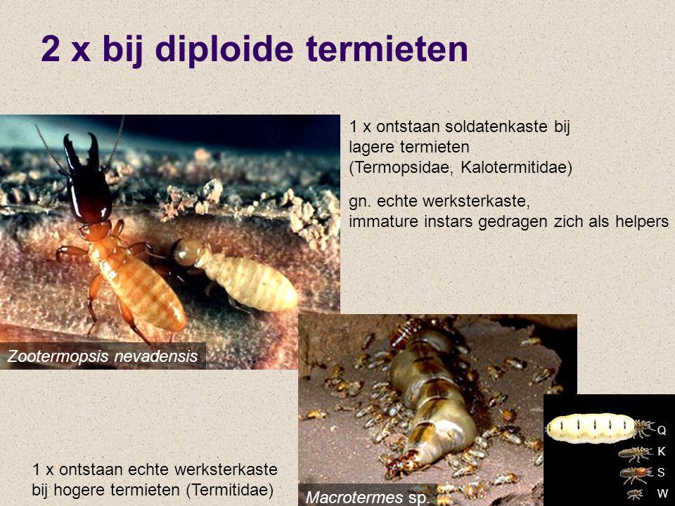 2 x bij diploide termieten Zootermopsis nevadensis 1 x ontstaan soldatenkaste bij lagere termieten (Termopsidae, Kalotermitidae) gn. echte werksterkas