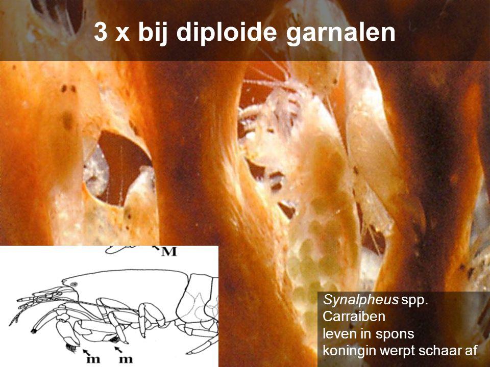 3 x bij diploide garnalen Synalpheus spp. Carraiben leven in spons koningin werpt schaar af