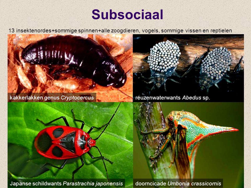 Subsociaal kakkerlakken genus Cryptocercus 13 insektenordes+sommige spinnen+alle zoogdieren, vogels, sommige vissen en reptielen doorncicade Umbonia c