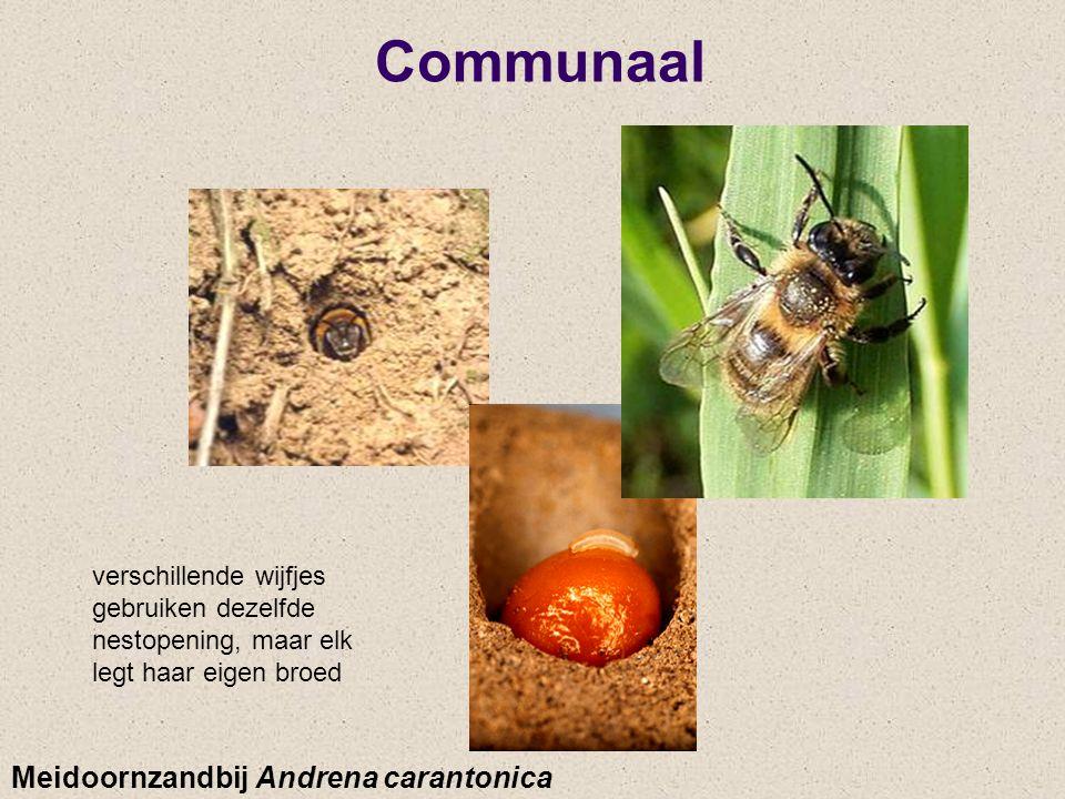 Communaal Meidoornzandbij Andrena carantonica verschillende wijfjes gebruiken dezelfde nestopening, maar elk legt haar eigen broed