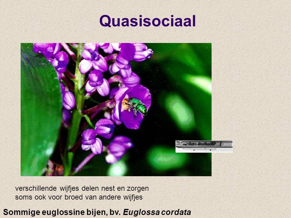 Quasisociaal Sommige euglossine bijen, bv. Euglossa cordata verschillende wijfjes delen nest en zorgen soms ook voor broed van andere wijfjes