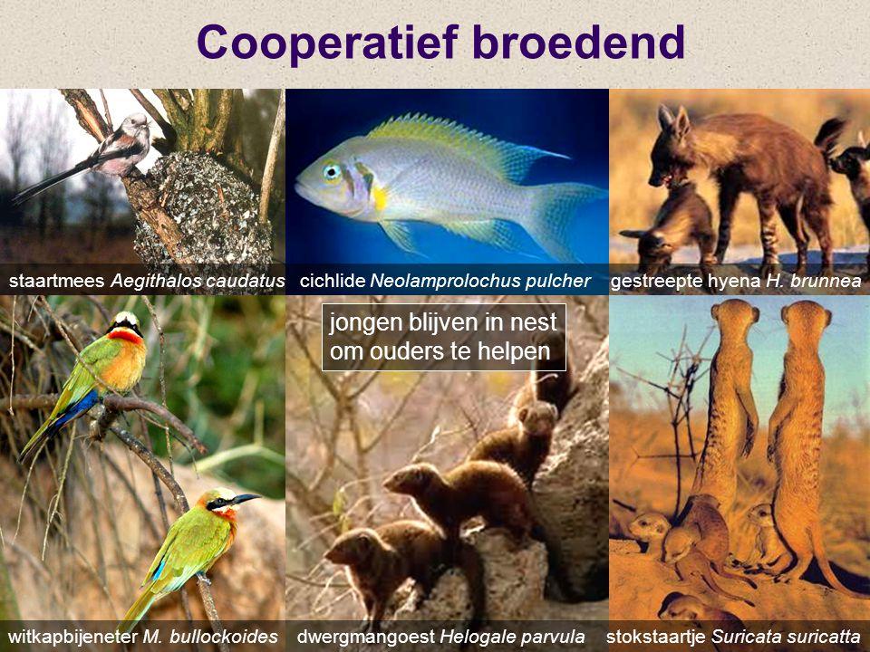 Cooperatief broedend staartmees Aegithalos caudatus cichlide Neolamprolochus pulcher gestreepte hyena H. brunnea witkapbijeneter M. bullockoides dwerg