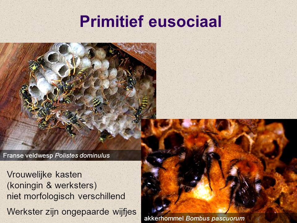 Primitief eusociaal Franse veldwesp Polistes dominulus akkerhommel Bombus pascuorum Vrouwelijke kasten (koningin & werksters) niet morfologisch versch