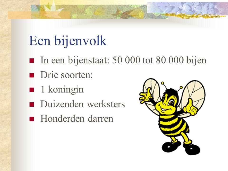 Een bijenvolk In een bijenstaat: 50 000 tot 80 000 bijen Drie soorten: 1 koningin Duizenden werksters Honderden darren