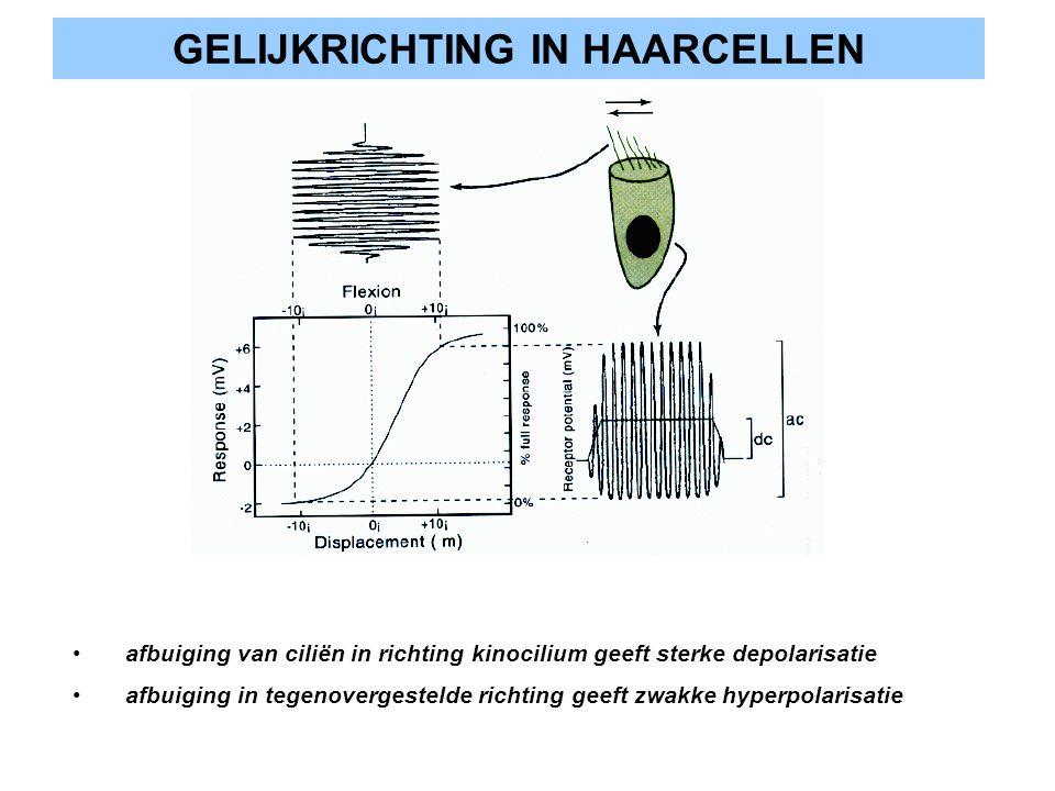 GELIJKRICHTING IN HAARCELLEN afbuiging van ciliën in richting kinocilium geeft sterke depolarisatie afbuiging in tegenovergestelde richting geeft zwak