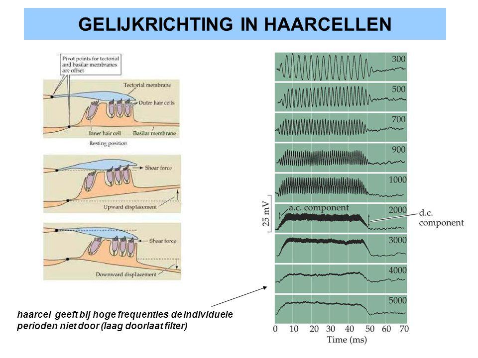 GELIJKRICHTING IN HAARCELLEN haarcel geeft bij hoge frequenties de individuele perioden niet door (laag doorlaat filter)
