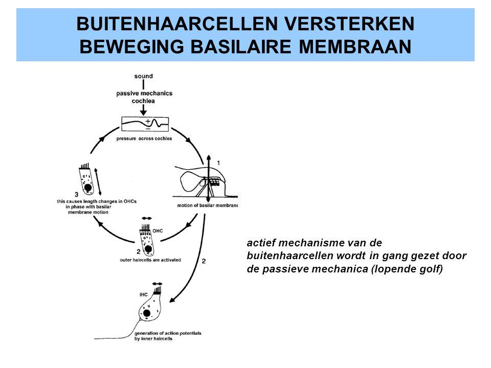 BUITENHAARCELLEN VERSTERKEN BEWEGING BASILAIRE MEMBRAAN actief mechanisme van de buitenhaarcellen wordt in gang gezet door de passieve mechanica (lope
