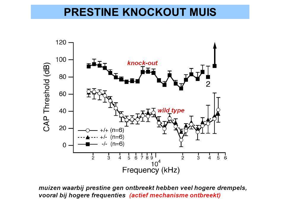 PRESTINE KNOCKOUT MUIS muizen waarbij prestine gen ontbreekt hebben veel hogere drempels, vooral bij hogere frequenties (actief mechanisme ontbreekt)