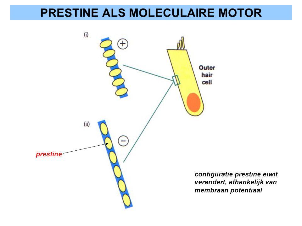 PRESTINE ALS MOLECULAIRE MOTOR prestine configuratie prestine eiwit verandert, afhankelijk van membraan potentiaal