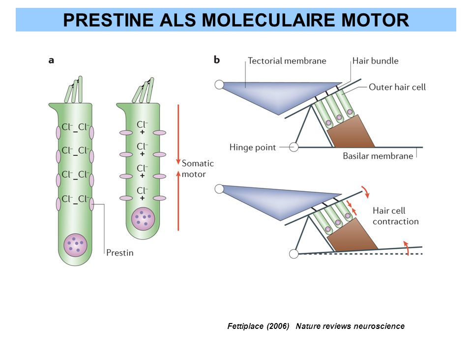 PRESTINE ALS MOLECULAIRE MOTOR Fettiplace (2006) Nature reviews neuroscience