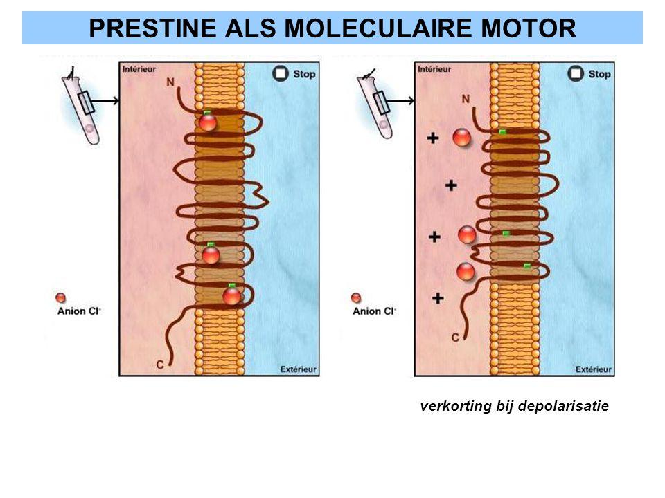 PRESTINE ALS MOLECULAIRE MOTOR verkorting bij depolarisatie