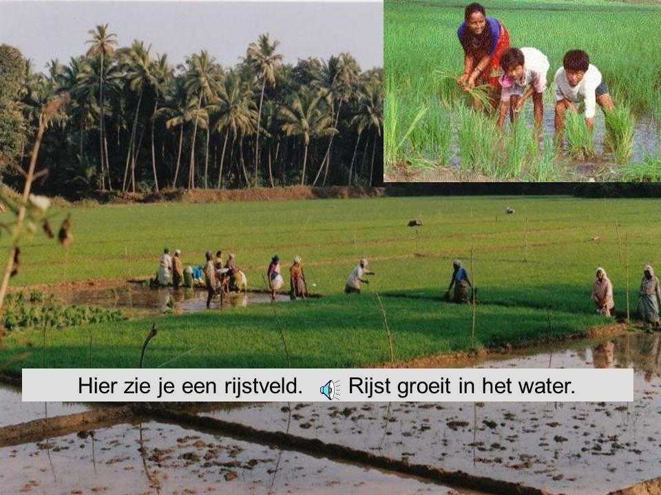 de rijstkorrel De rijsttafel. Bij een Chinees restaurant kun je een rijsttafel krijgen.