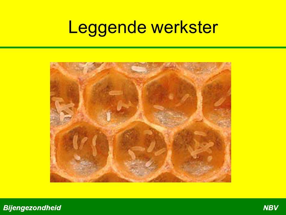 Leggende werkster BijengezondheidNBV