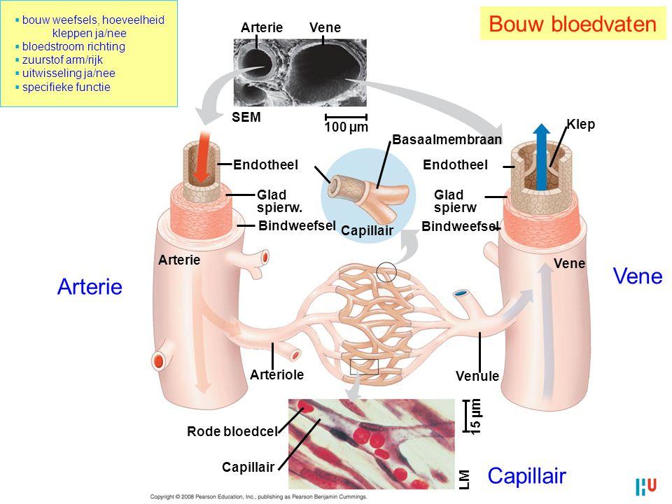 12 ArterieVene SEM 100 µm Endotheel Arterie Glad spierw. Bindweefsel Capillair Basaalmembraan Endotheel Glad spierw Bindweefsel Klep Vene Arteriole Ve