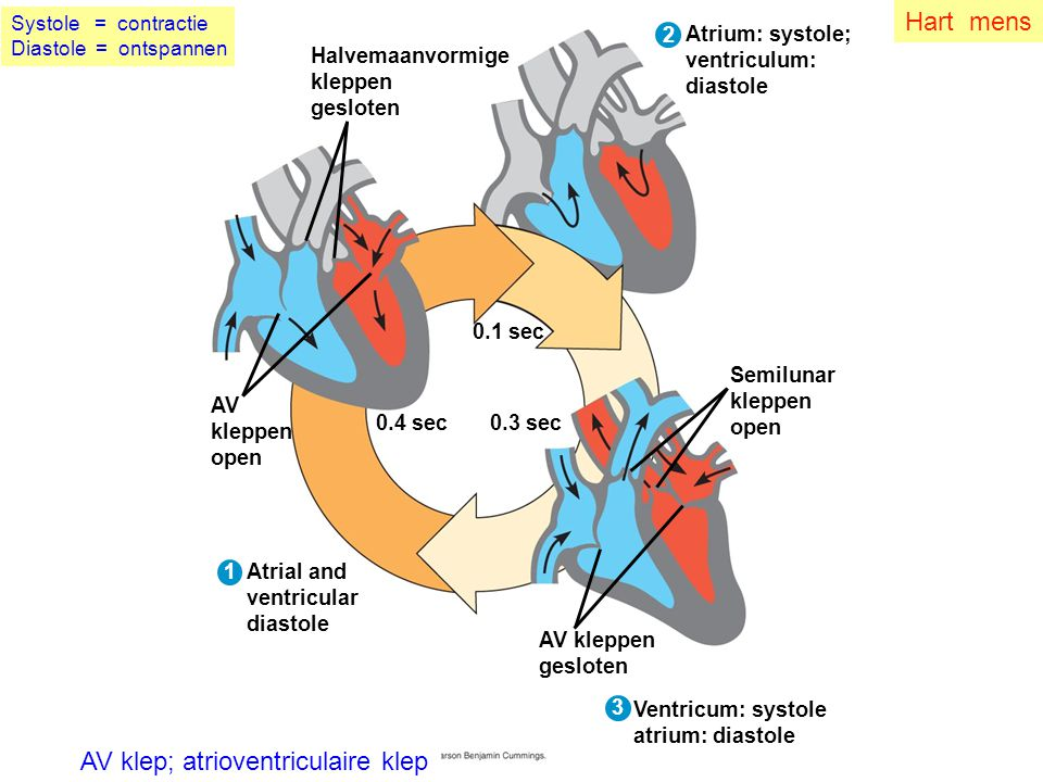 Fig. 42-8-3 0.4 sec 1 2 0.1 sec 3 0.3 sec Semilunar kleppen open AV kleppen gesloten Ventricum: systole atrium: diastole AV klep; atrioventriculaire k