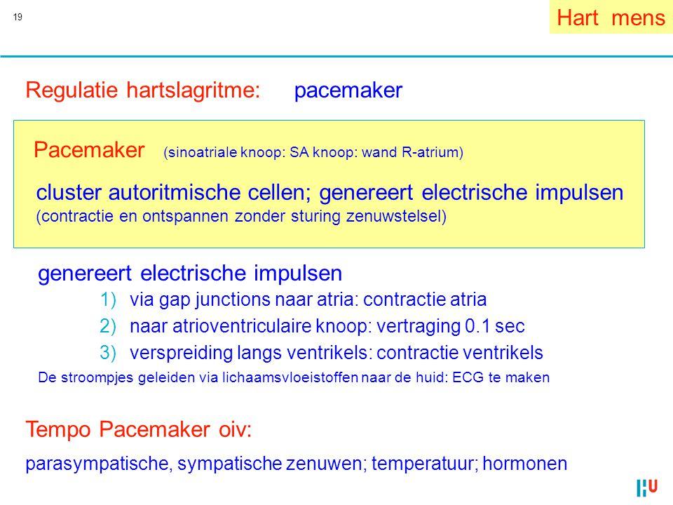 19 Regulatie hartslagritme: Hart mens Pacemaker (sinoatriale knoop: SA knoop: wand R-atrium) cluster autoritmische cellen; genereert electrische impul