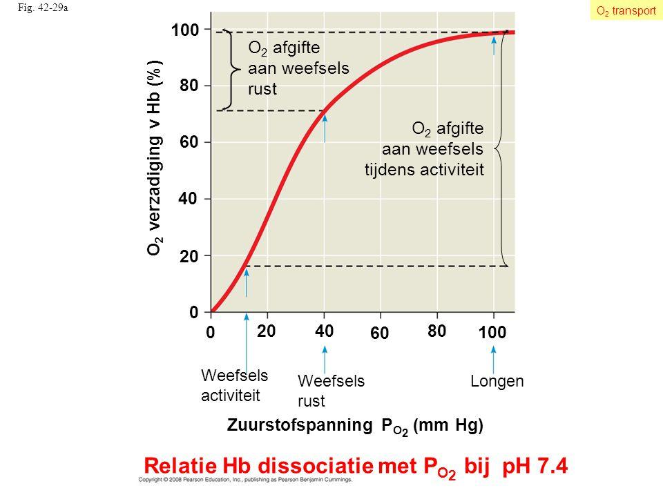 Fig. 42-29a O 2 afgifte aan weefsels tijdens activiteit O 2 afgifte aan weefsels rust 100 40 0 20 60 80 0 4080 100 O 2 verzadiging v Hb (%) 20 60 Weef
